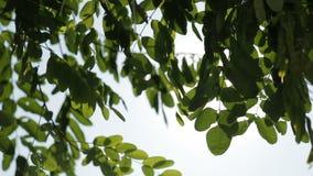 Πράσινα φύλλα σε ένα δέντρο ενάντια στον ήλιο και το μπλε ουρανό φιλμ μικρού μήκους