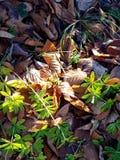 Πράσινα φύλλα σε ένα υπόβαθρο παλαιά πεσμένα φύλλα Στοκ φωτογραφία με δικαίωμα ελεύθερης χρήσης