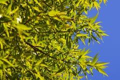 Πράσινα φύλλα σε ένα υπόβαθρο του μπλε σχεδίου sky Στοκ φωτογραφία με δικαίωμα ελεύθερης χρήσης