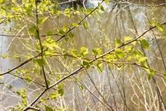 Πράσινα φύλλα σημύδων στο υπόβαθρο της λίμνης στοκ εικόνα