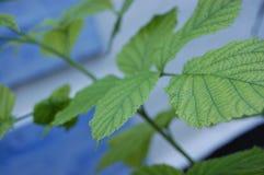 Πράσινα φύλλα σμέουρων σε έναν θάμνο στοκ φωτογραφία με δικαίωμα ελεύθερης χρήσης
