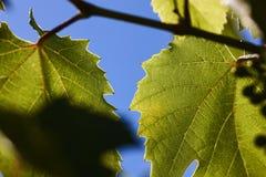 Πράσινα φύλλα σταφυλιών στις ακτίνες ενός backlight ενάντια σε έναν μπλε ουρανό Πράσινα φύλλα των νέων σταφυλιών Στοκ Εικόνα