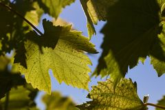Πράσινα φύλλα σταφυλιών στις ακτίνες ενός backlight ενάντια σε έναν μπλε ουρανό Πράσινα φύλλα των νέων σταφυλιών Στοκ φωτογραφίες με δικαίωμα ελεύθερης χρήσης