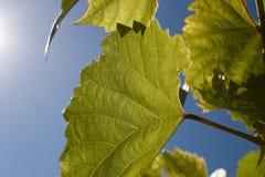 Πράσινα φύλλα σταφυλιών στις ακτίνες ενός backlight ενάντια σε έναν μπλε ουρανό Πράσινα φύλλα των νέων σταφυλιών Στοκ Εικόνες