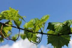 Πράσινα φύλλα σταφυλιών Στοκ Φωτογραφίες