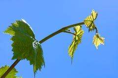 πράσινα φύλλα σταφυλιών Στοκ εικόνες με δικαίωμα ελεύθερης χρήσης
