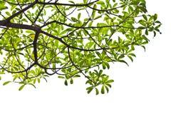 Πράσινα φύλλα στην άσπρη ανασκόπηση. Στοκ Φωτογραφίες