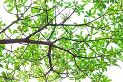 Πράσινα φύλλα στην άσπρη ανασκόπηση. Στοκ εικόνες με δικαίωμα ελεύθερης χρήσης