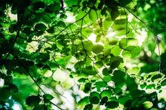 Πράσινα φύλλα στην ηλιοφάνεια, πράσινα φύλλα γουρνών ήλιων οξύνοντας Στοκ εικόνες με δικαίωμα ελεύθερης χρήσης