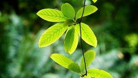 Πράσινα φύλλα στο φυσικό κήπο Στοκ Εικόνες