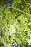 Πράσινα φύλλα στο φως του ήλιου 1 Στοκ φωτογραφίες με δικαίωμα ελεύθερης χρήσης