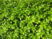 Πράσινα φύλλα της άνοιξης τον Απρίλιο Στοκ εικόνα με δικαίωμα ελεύθερης χρήσης