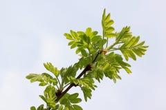 Πράσινα φύλλα της ακακίας σε ένα νεφελώδες κλίμα ουρανού προαστιακός περίπατος άνοιξη ημέρας δασικός Στοκ Εικόνες
