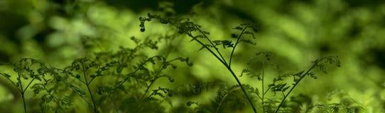 Πράσινα φύλλα του δάσους φτερών - πανόραμα Στοκ Εικόνες