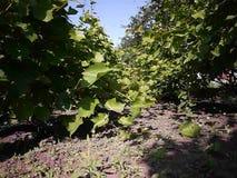 Πράσινα φύλλα του δέντρου σταφυλιών Το φως του ήλιου φωτίζει τα φύλλα r φιλμ μικρού μήκους