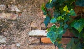 Πράσινα φύλλα του κισσού στον παλαιό τουβλότοιχο στοκ εικόνες με δικαίωμα ελεύθερης χρήσης