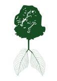 Πράσινα φύλλα του πνεύμονα φωτοσύνθεσης Στοκ Εικόνα