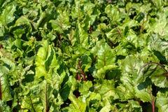 Πράσινα φύλλα του τεύτλου Στοκ εικόνα με δικαίωμα ελεύθερης χρήσης