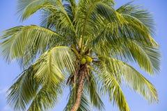 Πράσινα φύλλα του φοίνικα καρύδων ενάντια στο μπλε ουρανό Έννοια ταξιδιού φύσης στοκ φωτογραφία