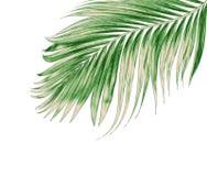 Πράσινα φύλλα του φοίνικα που απομονώνεται στο άσπρο υπόβαθρο Στοκ Φωτογραφίες
