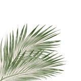 Πράσινα φύλλα του φοίνικα που απομονώνεται στο άσπρο υπόβαθρο Στοκ φωτογραφίες με δικαίωμα ελεύθερης χρήσης