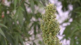 Πράσινα φύλλα του φυτού μαριχουάνα καννάβεων Πράσινα φύλλα ενός φυτού μαριχουάνα καννάβεων φιλμ μικρού μήκους