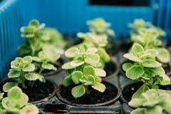 Πράσινα φύλλα του φυτού Plectranthus Vicks ή της ανάπτυξης Rymovnik Στοκ φωτογραφία με δικαίωμα ελεύθερης χρήσης