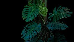 Πράσινα φύλλα του monstera ή του διάσπαση-φύλλου philodendron Monstera de στοκ εικόνα με δικαίωμα ελεύθερης χρήσης