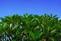 Πράσινα φύλλα του plumeria και του σαφούς μπλε ουρανού Στοκ φωτογραφία με δικαίωμα ελεύθερης χρήσης