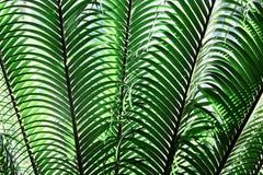 πράσινα φύλλα τροπικά Κινηματογράφηση σε πρώτο πλάνο Υπόβαθρο φοίνικας Στοκ Φωτογραφία
