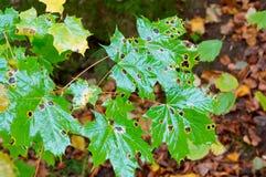 Πράσινα φύλλα φθινοπώρου, πράσινα φύλλα ενός δέντρου σφενδάμνου με τα μαύρα σημεία το φθινόπωρο Στοκ Εικόνα