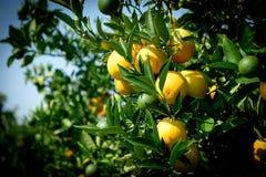 Πράσινα φύλλα φρούτων δέντρων κλάδων πορτοκαλιά στην Πελοπόννησο Στοκ φωτογραφία με δικαίωμα ελεύθερης χρήσης