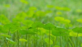 Πράσινα φύλλα φυτών χρημάτων Στοκ εικόνα με δικαίωμα ελεύθερης χρήσης