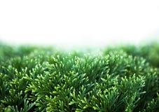 Πράσινα φύλλα Χριστουγέννων Thuja στο άσπρο υπόβαθρο στοκ εικόνες με δικαίωμα ελεύθερης χρήσης