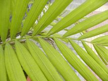Πράσινα φύλλα χρώματος Areca του φυτού φοινικών Στοκ Εικόνα
