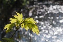 πράσινα φύλλα Στοκ εικόνα με δικαίωμα ελεύθερης χρήσης