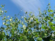 πράσινα φύλλα Στοκ εικόνες με δικαίωμα ελεύθερης χρήσης
