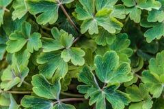 Πράσινα φύλλα Aquilegia vulgaris Στοκ Φωτογραφίες