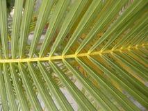 Πράσινα φύλλα Areca του φυτού φοινικών Στοκ Εικόνα