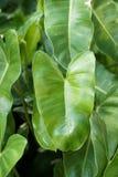 πράσινα φύλλα philodendron Στοκ Φωτογραφίες