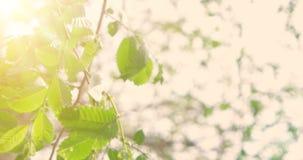 Πράσινα φύλλα άνοιξη της λεύκας μπροστά από τον ουρανό με τον τρέμοντας ήλιο, νέα ζωή στην καθαρή αρχή περιβάλλοντος απόθεμα βίντεο