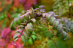 Πράσινα φύλλα δέντρων σορβιών και πτώσεις της βροχής στοκ φωτογραφίες με δικαίωμα ελεύθερης χρήσης