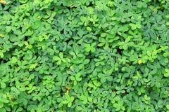 πράσινα φύλλα ανασκόπησης ακακιών Στοκ Φωτογραφίες