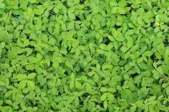 πράσινα φύλλα ανασκόπησης ακακιών Στοκ εικόνες με δικαίωμα ελεύθερης χρήσης