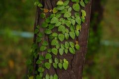 πράσινα φύλλα ανασκόπησης ακακιών Στοκ Εικόνα