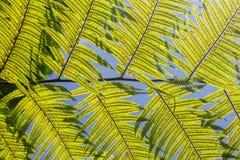πράσινα φύλλα ανασκόπησης ακακιών διανυσματική απεικόνιση