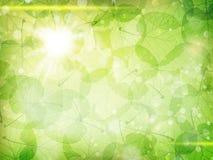 πράσινα φύλλα ανασκόπησης ακακιών 10 eps Στοκ Εικόνες