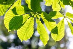 Πράσινα φύλλα αναδρομικά φωτισμένα από τον ήλιο Στοκ εικόνα με δικαίωμα ελεύθερης χρήσης