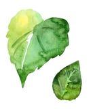 Πράσινα φύλλα, απομονωμένο αντικείμενο σχεδίου watercolor Στοκ Εικόνες