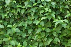 Πράσινα φύλλα για το υπόβαθρο Στοκ φωτογραφία με δικαίωμα ελεύθερης χρήσης